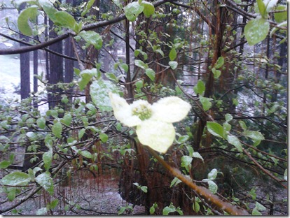 Snow on the Dogwood Blossom